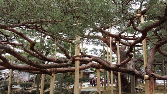 Les Karasaki-no-matsu, ou les Pins de karasaki